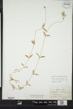 Cerastium fontanum subsp. vulgare image