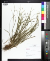 Image of Carex digitalis