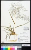 Eragrostis hirsuta image