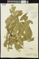 Prunus hortulana image