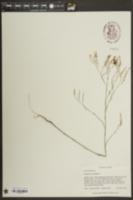 Image of Polygonella ciliata