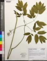 Caulophyllum giganteum image