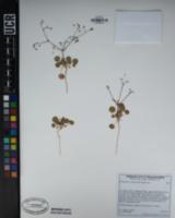 Eriogonum contiguum image
