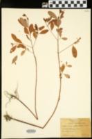 Image of Vismia petiolata