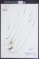 Aegilops comosa image