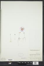 Utricularia gibba image