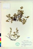 Acalypha chamaedrifolia image
