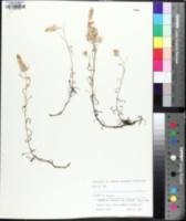 Image of Gamochaeta antillana