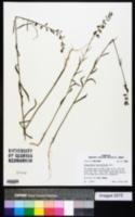 Image of Streptanthus hyacinthoides