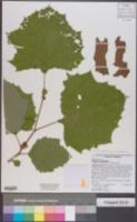 Platanus occidentalis var. occidentalis image