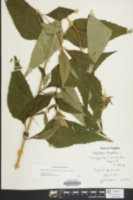 Helianthus decapetalus image
