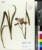 Image of Iris aphylla