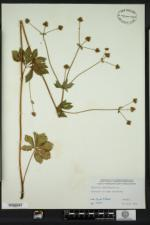 Sanicula marilandica image
