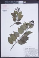 Mikania ovalis image