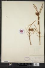 Picea glauca image