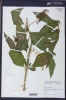 Phytolacca americana var. americana image