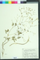 Image of Boenninghausenia albiflora