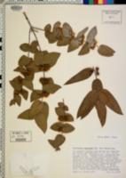 Eucalyptus pulverulenta image