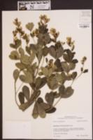 Baptisia nuttalliana image