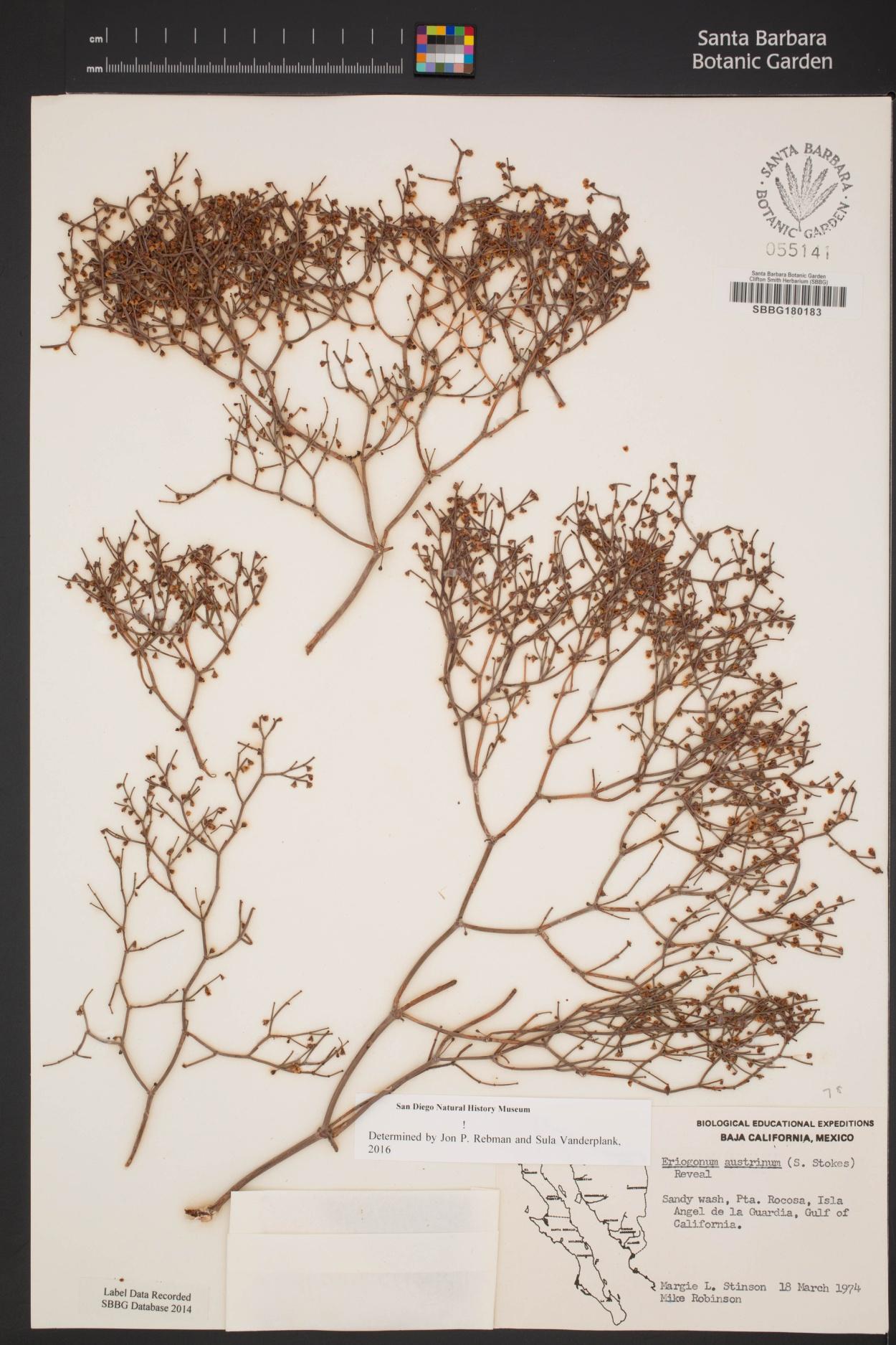 Eriogonum austrinum image