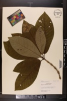 Image of Magnolia obovata