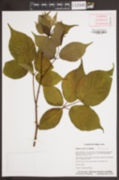 Image of Rubus rosa
