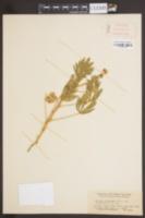 Image of Lupinus adsurgens