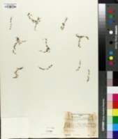 Plagiobothrys scouleri var. hispidulus image