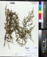 Artemisia annua image