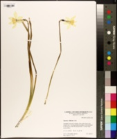 Image of Narcissus biflorus