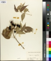 Image of Sapindus marginatus