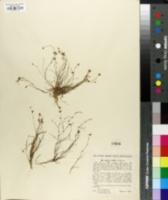 Juncus subtilis image