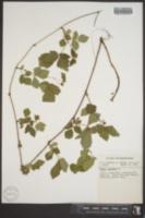 Rubus hispidus var. obovalis image