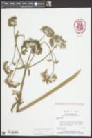 Angelica archangelica image