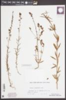 Image of Linaria microsepala