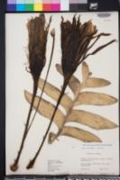 Image of Selenicereus chrysocardium