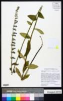 Lobelia apalachicolensis image