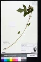 Cnidoscolus urens var. stimulosus image