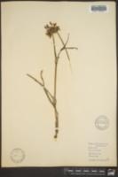 Image of Tradescantia laramiensis