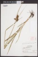 Bolboschoenus robustus image
