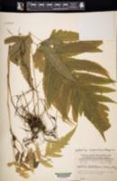 Image of Leptochilus cladorrhizans