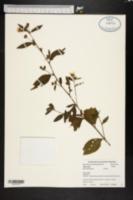 Image of Sida santaremensis