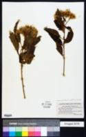 Image of Austrocritonia velutina