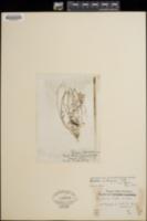 Chylismia multijuga image