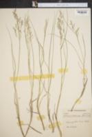 Image of Calamagrostis cainii