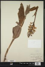 Platanthera grandiflora image