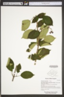 Viburnum plicatum image