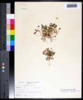 Oxalis dillenii image