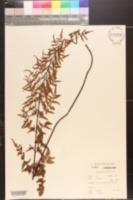 Image of Pellaea leucomelas