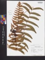 Image of Polypodium dissimile